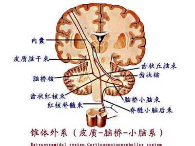 系统解剖 什么叫运动传导通路